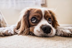 How to Steam Clean Carpet to Remove Dog Urine